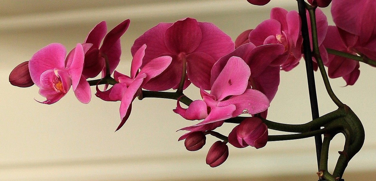 A pink orchid in full bloom   Photo: Pixabay/S. Hermann & F. Richter