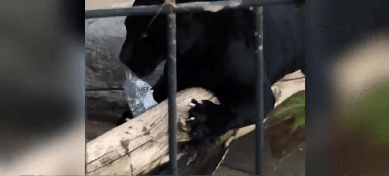 Une bouteille d'eau a distrait le jaguar. Source : YouTube / AUJOURD'HUI