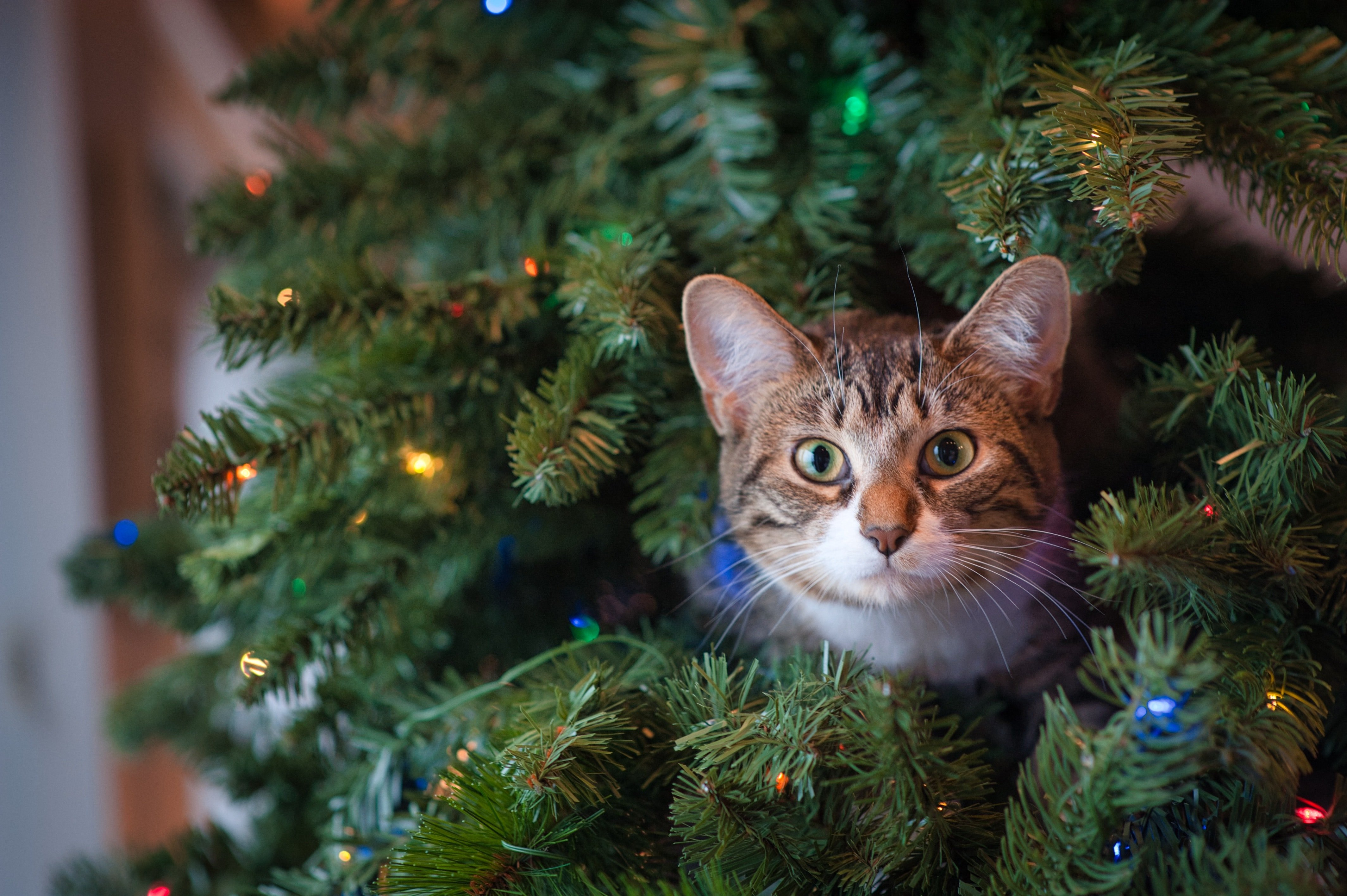 Photo of a cat in a christmas tree   Photo: Pexels