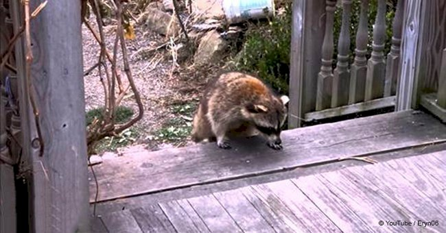 Woman leaves food for a blind raccoon, then she spots 2 tiny 'bodyguards' behind him
