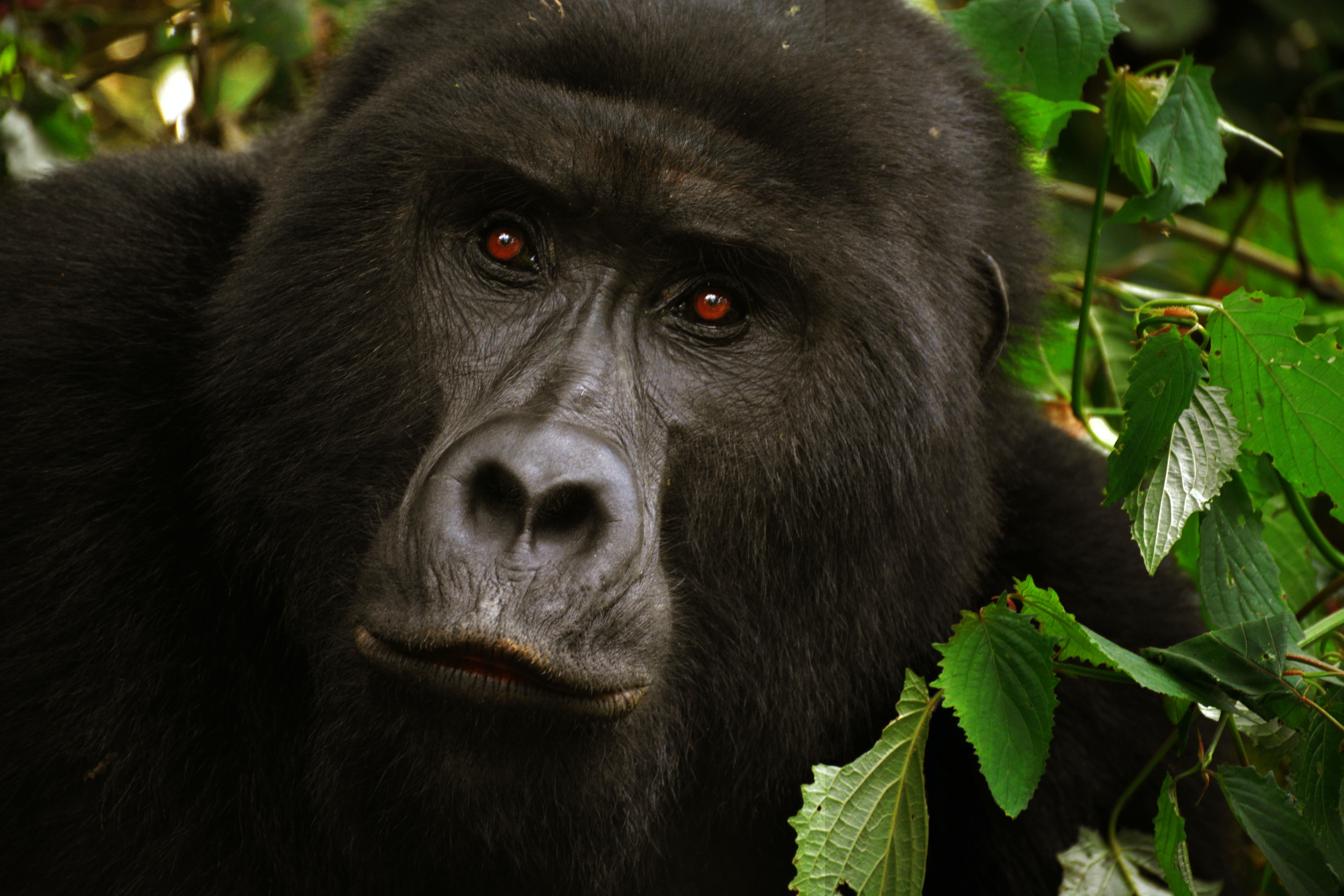 A gorilla with red eyes.   Photo: Pexels/ The World Hopper