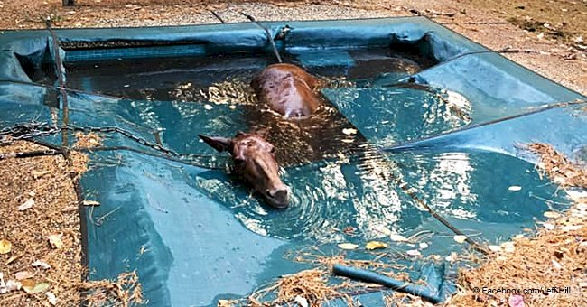 Man saves 'shivering' horse after it fell into a pool amid CA fires