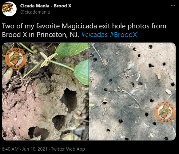Holes made from Cicadas during mating season this year. | Photo: Twitter/cicadamania
