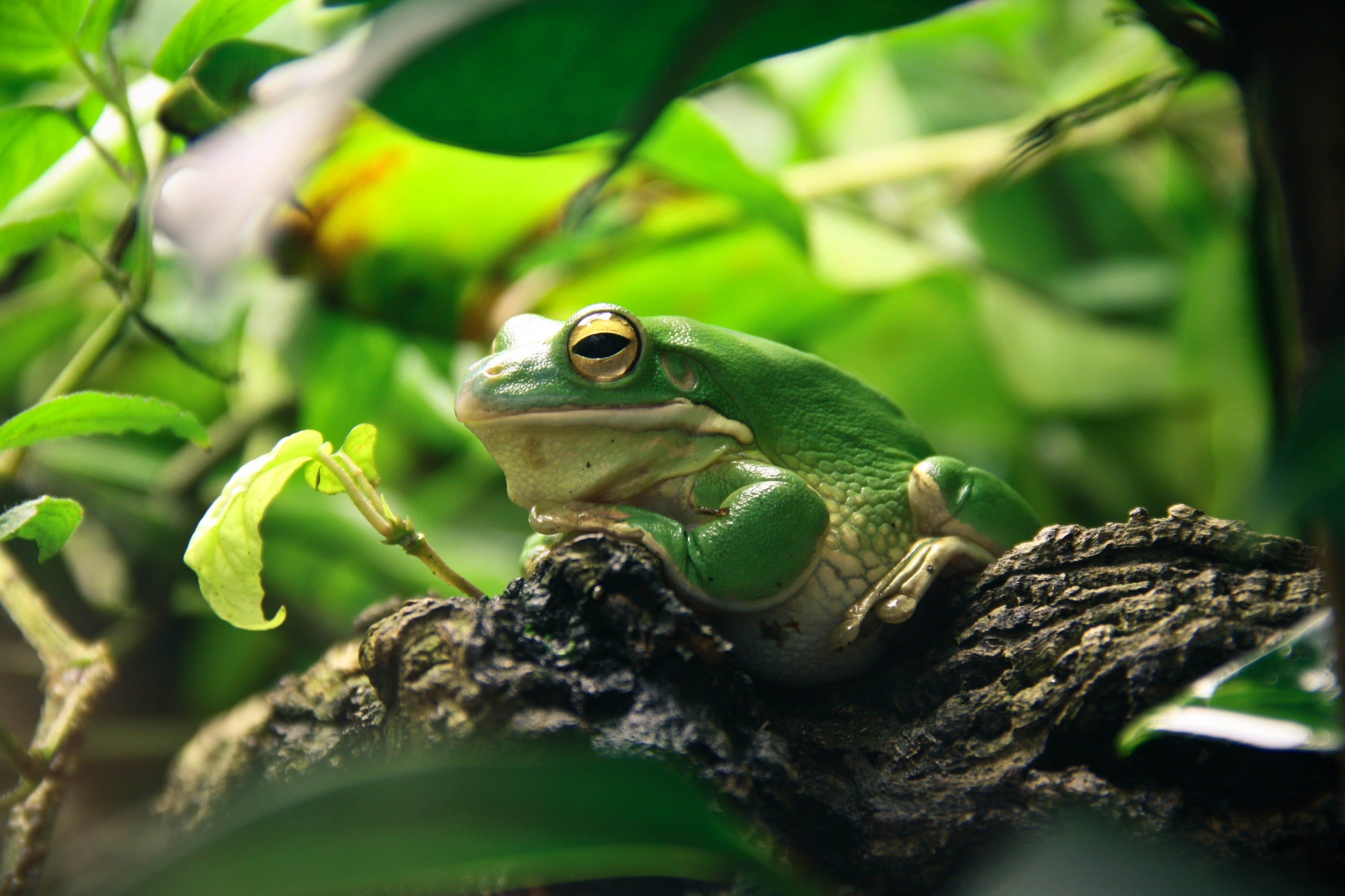 Pictured - A green and white frog on a tree branch   Source: Pexels