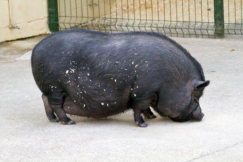 Hängebauchschwein | Quelle: Shutterstock