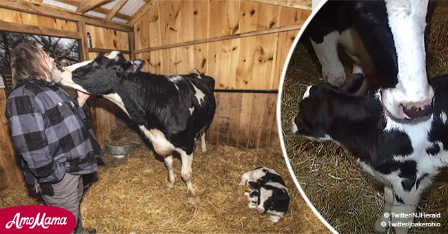Cow gave birth after escaping from a moving cattle truck on its way to the slaughterhouse