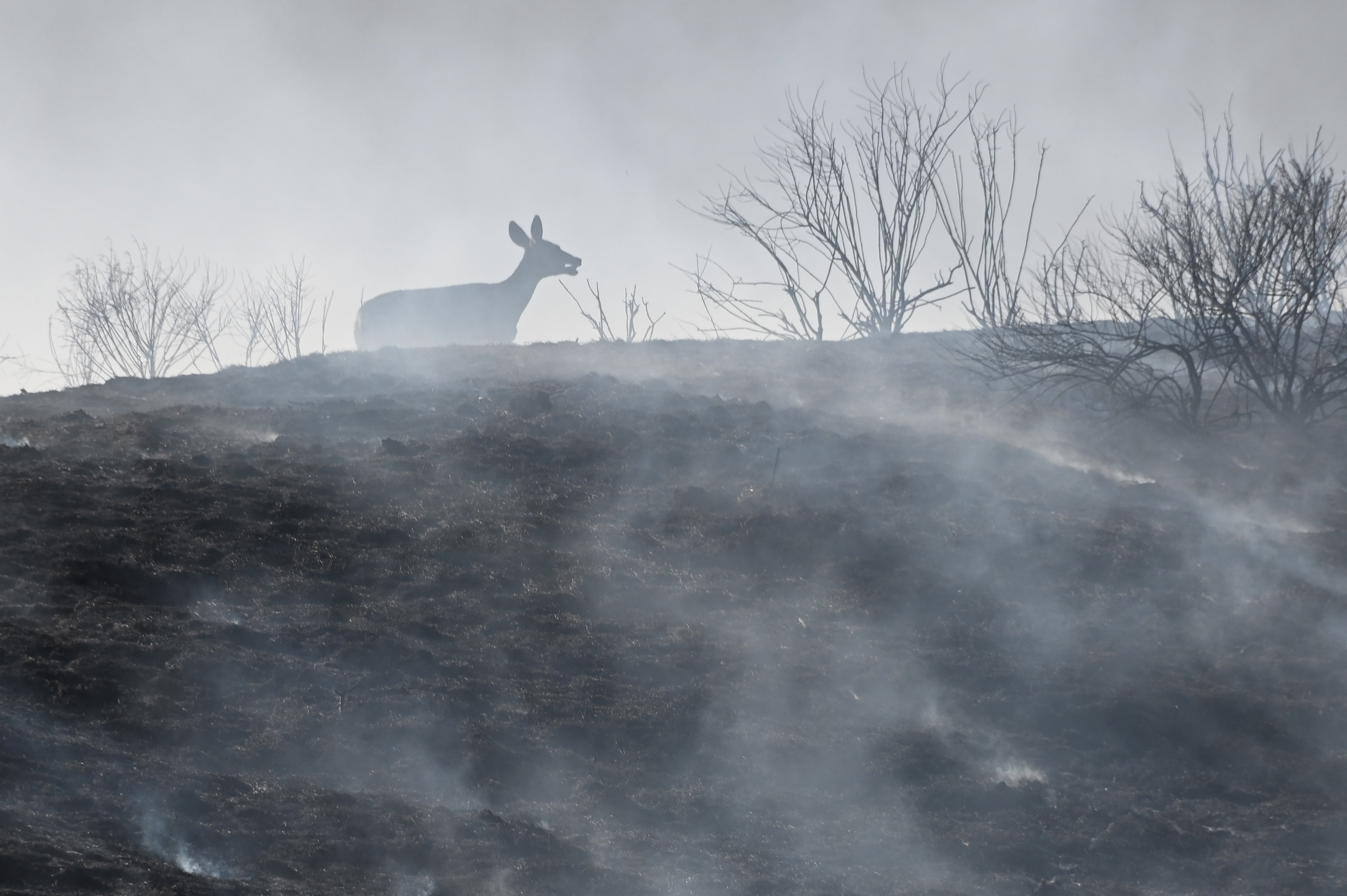 A distressed deer running on burt ground during two wind-driven wildfires in Blue Ridge Fire in Chino, California | Photo: Robyn Beck / AFP via Getty Images