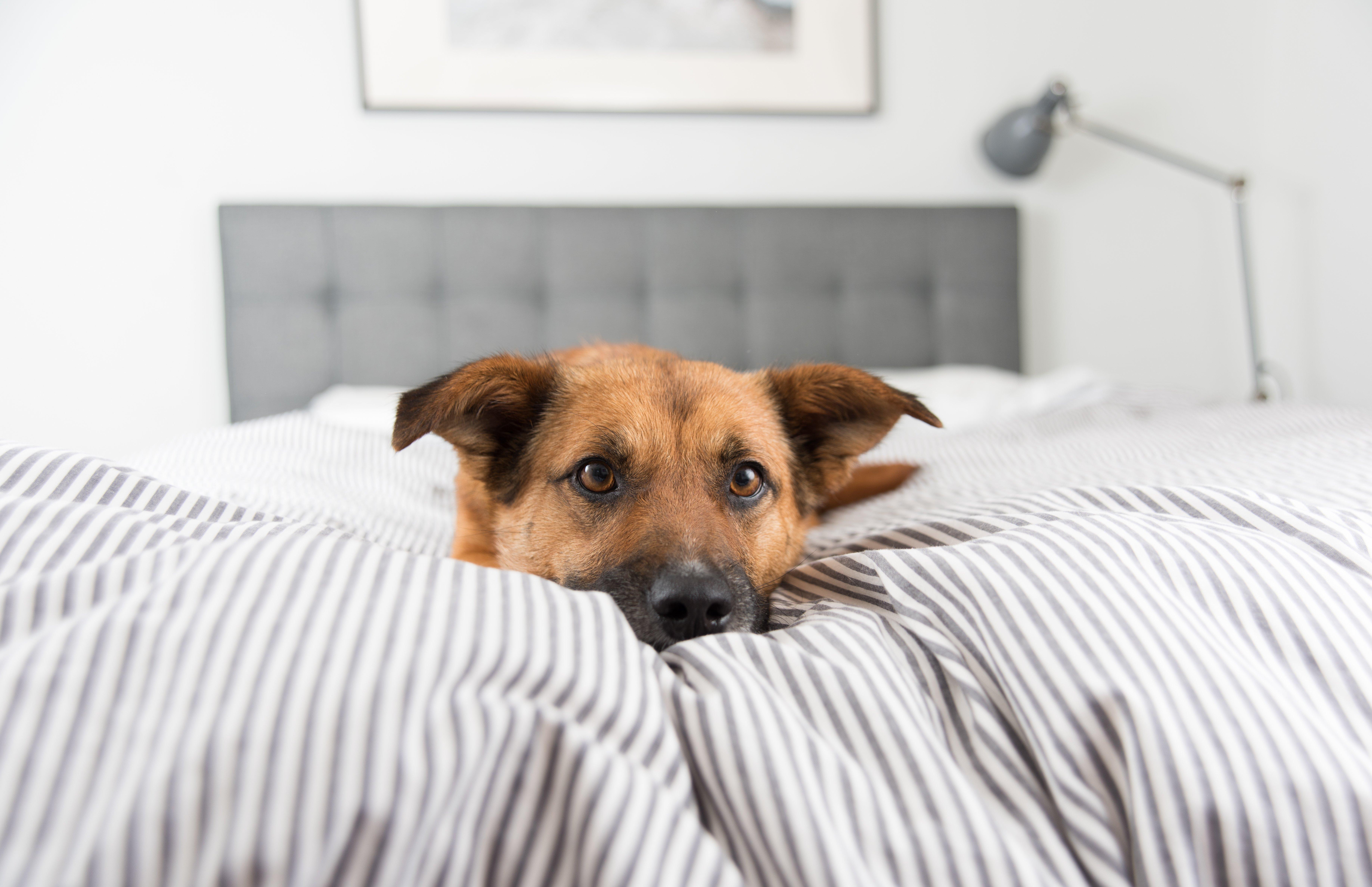 Un perro acostado en la cama. Fuente: Shutterstock
