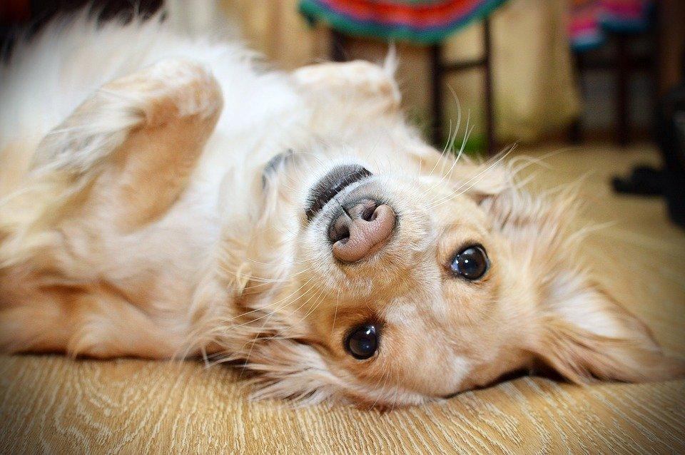 Perro acostado. | Foto: Pixabay
