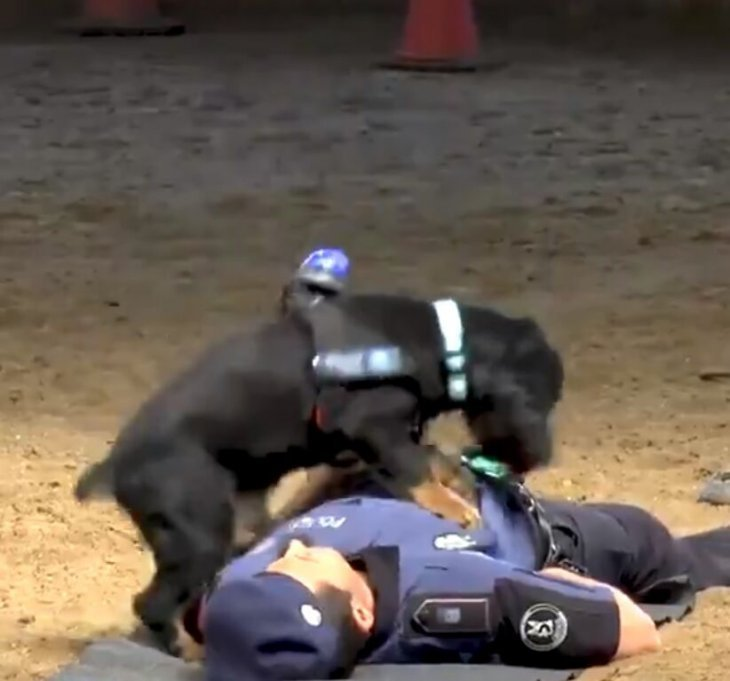 Perro haciendo RCP a un humano | Foto: Twitter/Policía de Madrid