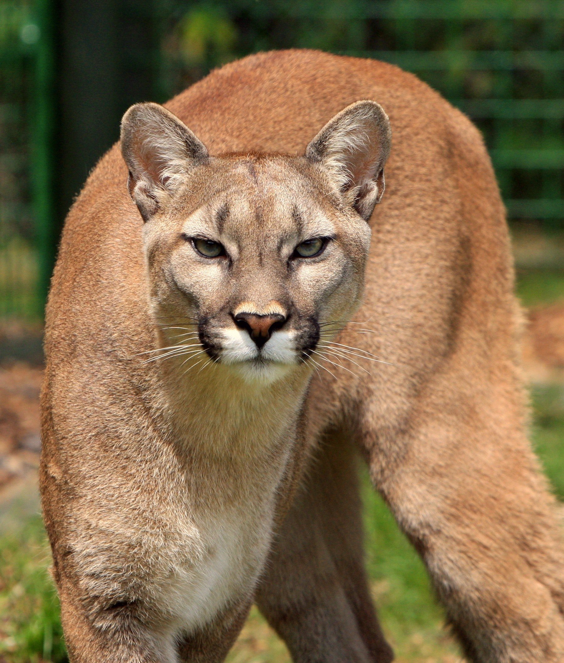 A prying cougar. | Source: Pexels