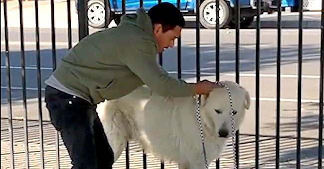 Stray Great Pyrenees Dog Spent Several Months Eluding a Community until He Was Finally Caught