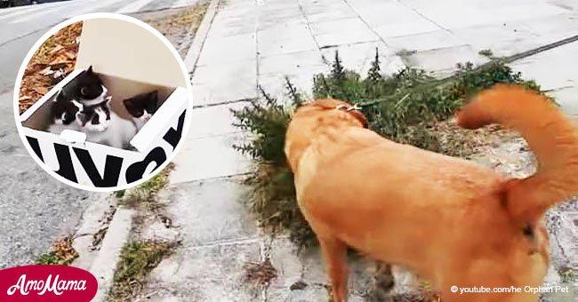 Perro desesperado llevó a su paseadora a una caja donde 4 bebitos esperaban ansiosos