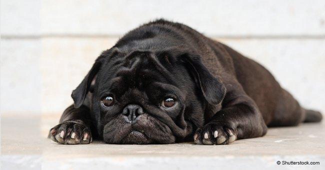 Des huissiers de justice ont saisi le chien: le propriétaire a été forcé de le vendre sur eBay pour payer ses dettes