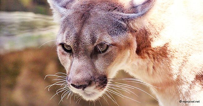 Mountain Lion That Colorado Runner Killed with Bare Hands Was a Three to Four-Month-Old Kitten