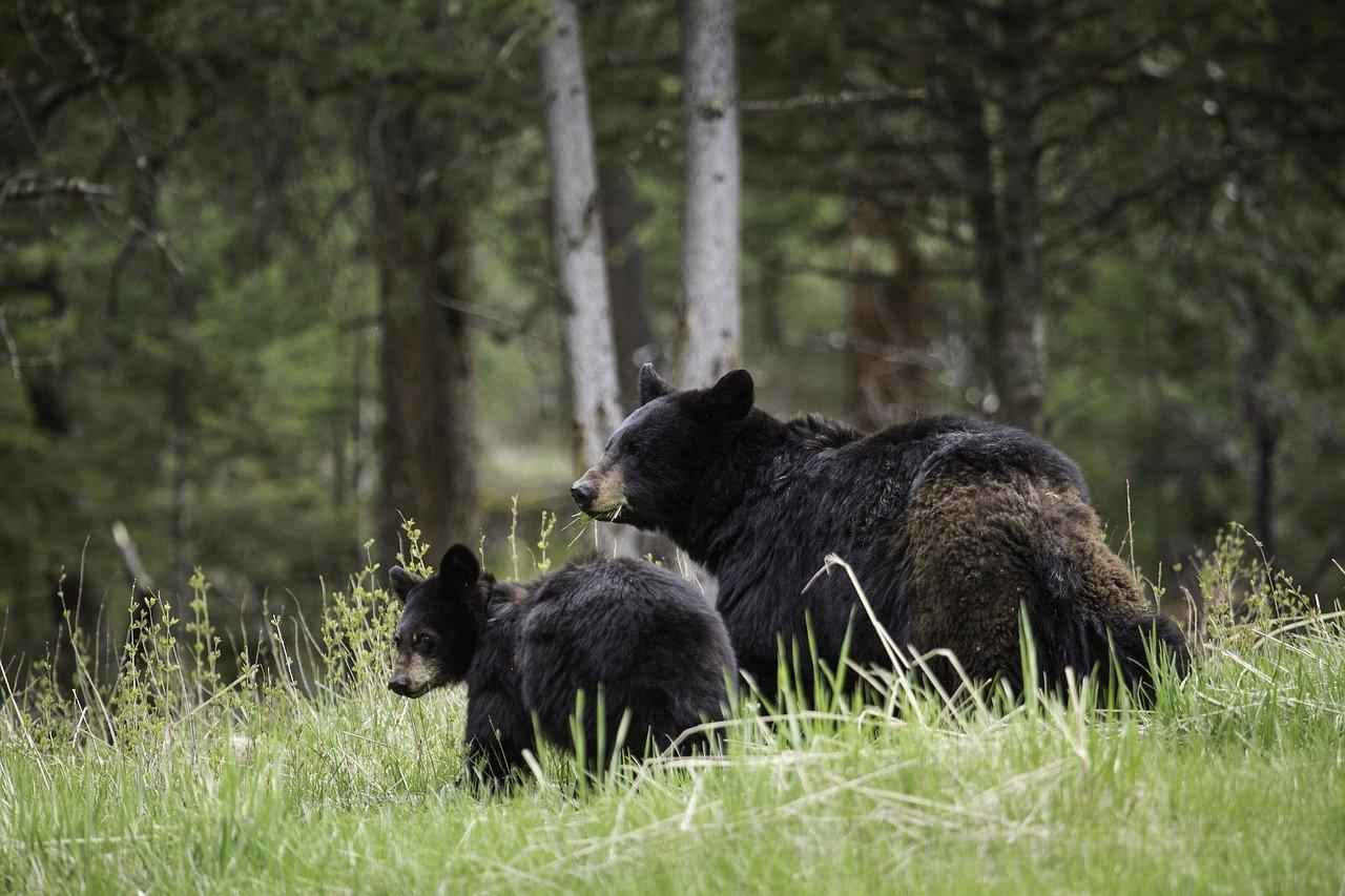 Schwarzbär samt Jungen - Foto: Pixabay