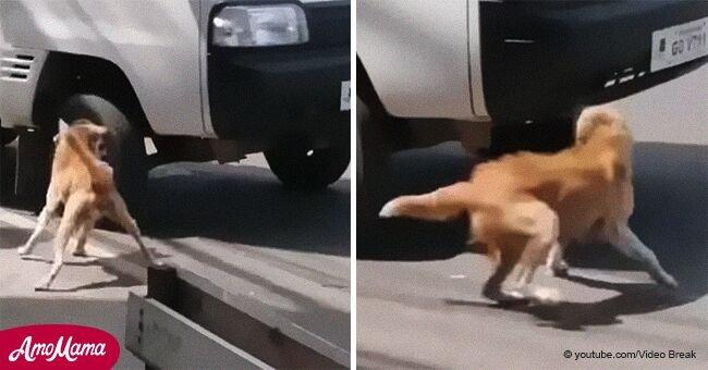 Une chienne aboie désespérément pour son chiot qui avait été renversé et personne ne s'arrête pour l'aider