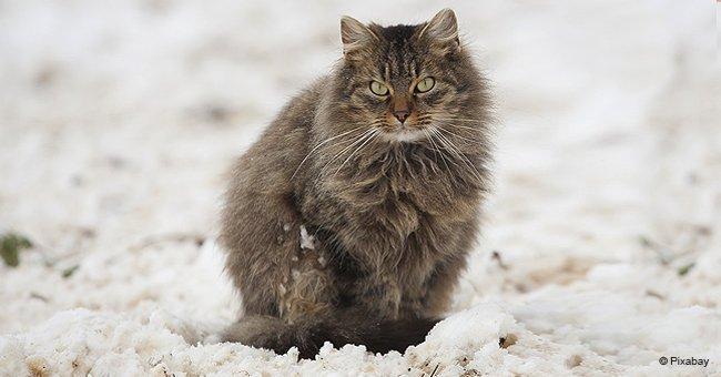 Fast hart gefrorene Katze' im Schnee gefunden und von Tierärzten wiederbelebt