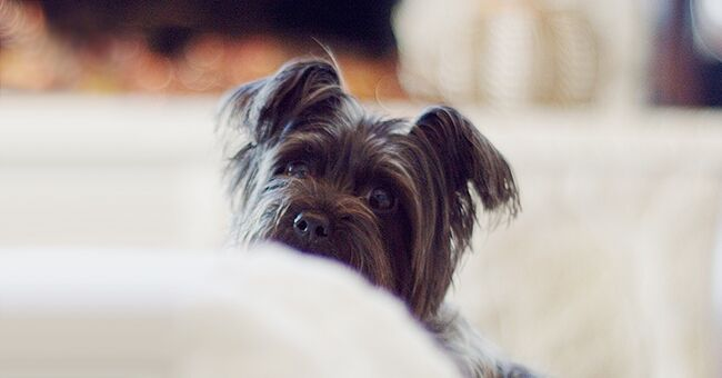 Daily Joke: A Dinner Guest Notices the Small Family Dog Looking at Every Bite She Took