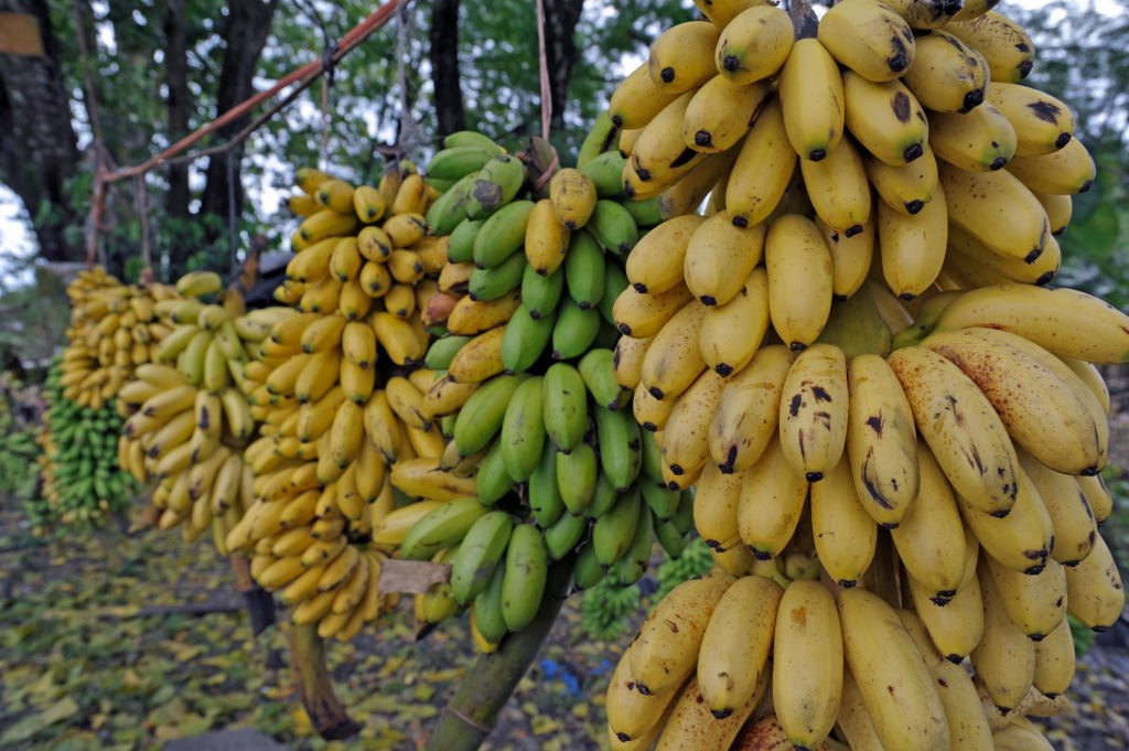 Des bananes | photo : Getty Images