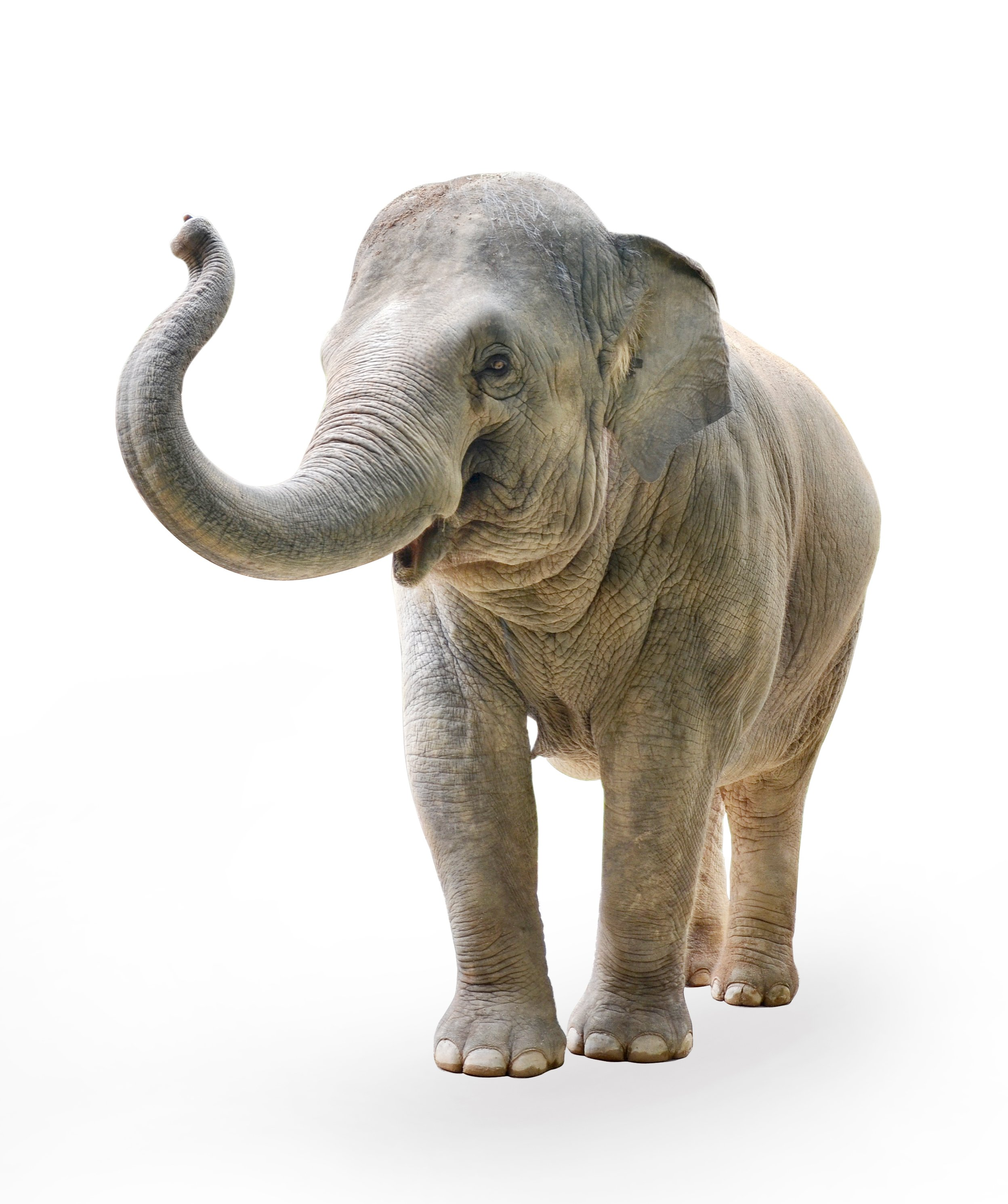A photo of an elephant on a white background. | Photo: Shutterstock.