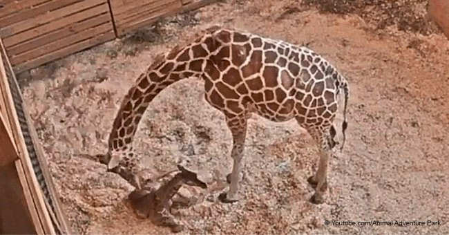 April the Giraffe Just Gave Birth to Her Fifth, Sweet and Squirmy, Spotted Calf
