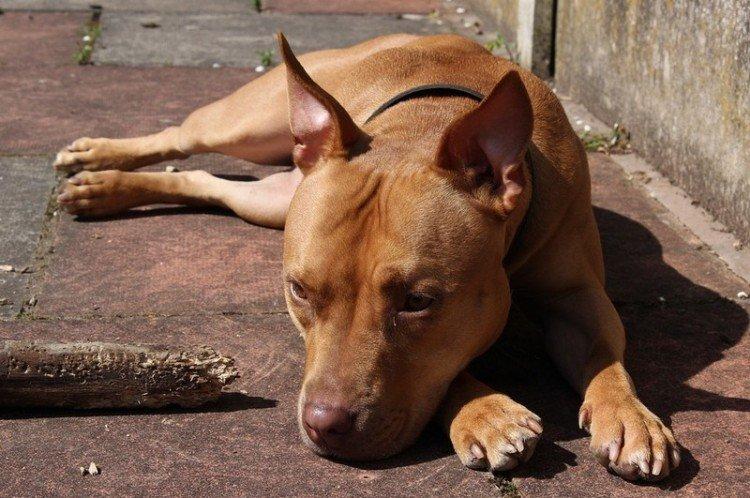 Perro mascota. | Foto: Pxhere