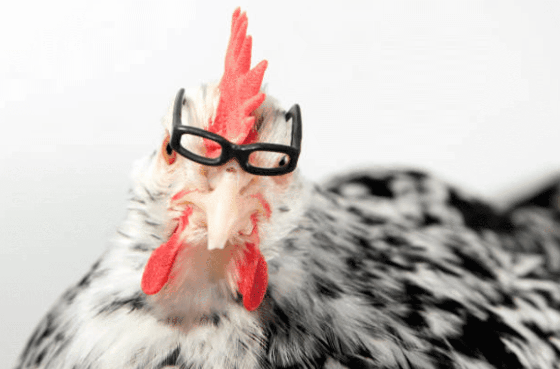 Chicken wearing reading glasses | Source: Getty Images