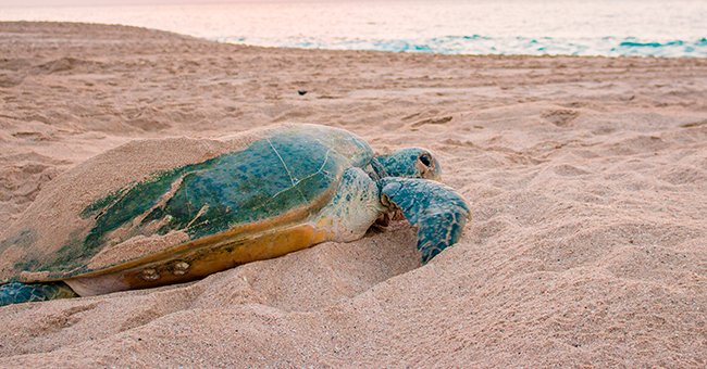 A green sea turtle by the beach.   Source: Shutterstock