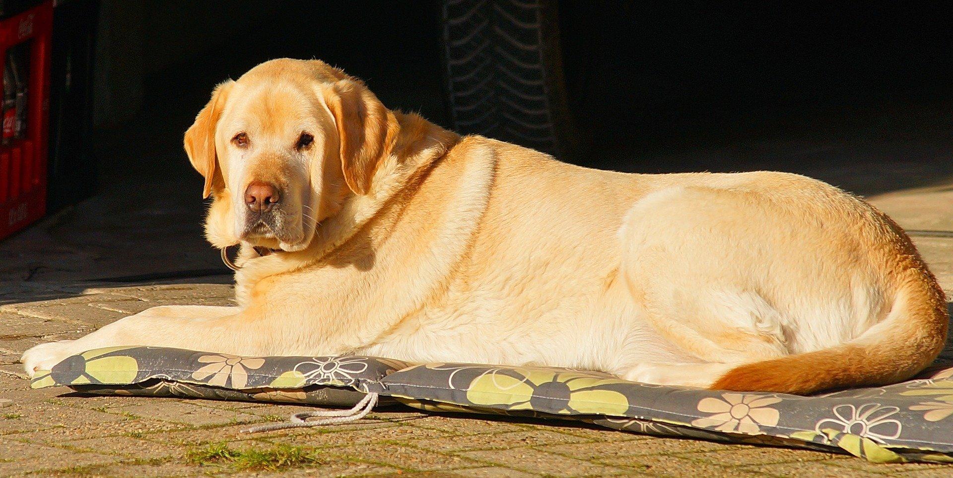 Labrador descansando sobre una estera. | Foto: Pixabay