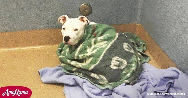 Perro sordo abandonado cruelmente por su familia se consuela arropado en mantas