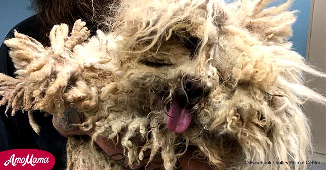 Le pauvre chien complètement emprisonné par sa propre fourrure peut enfin se déplacer librement