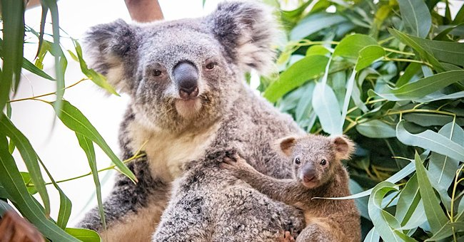 Cleveland Zoo Has Its First Baby Koala in Nearly a Decade