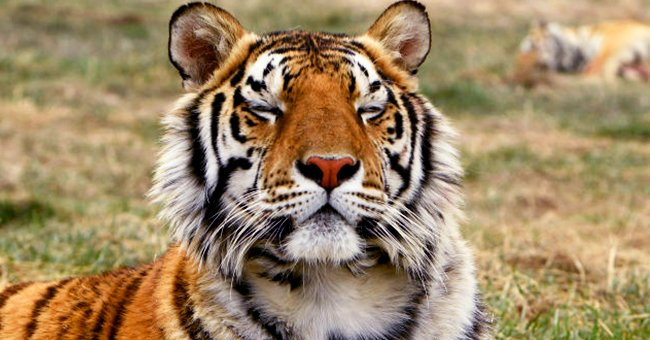 Photo of a tiger. | Photo: Getty Images