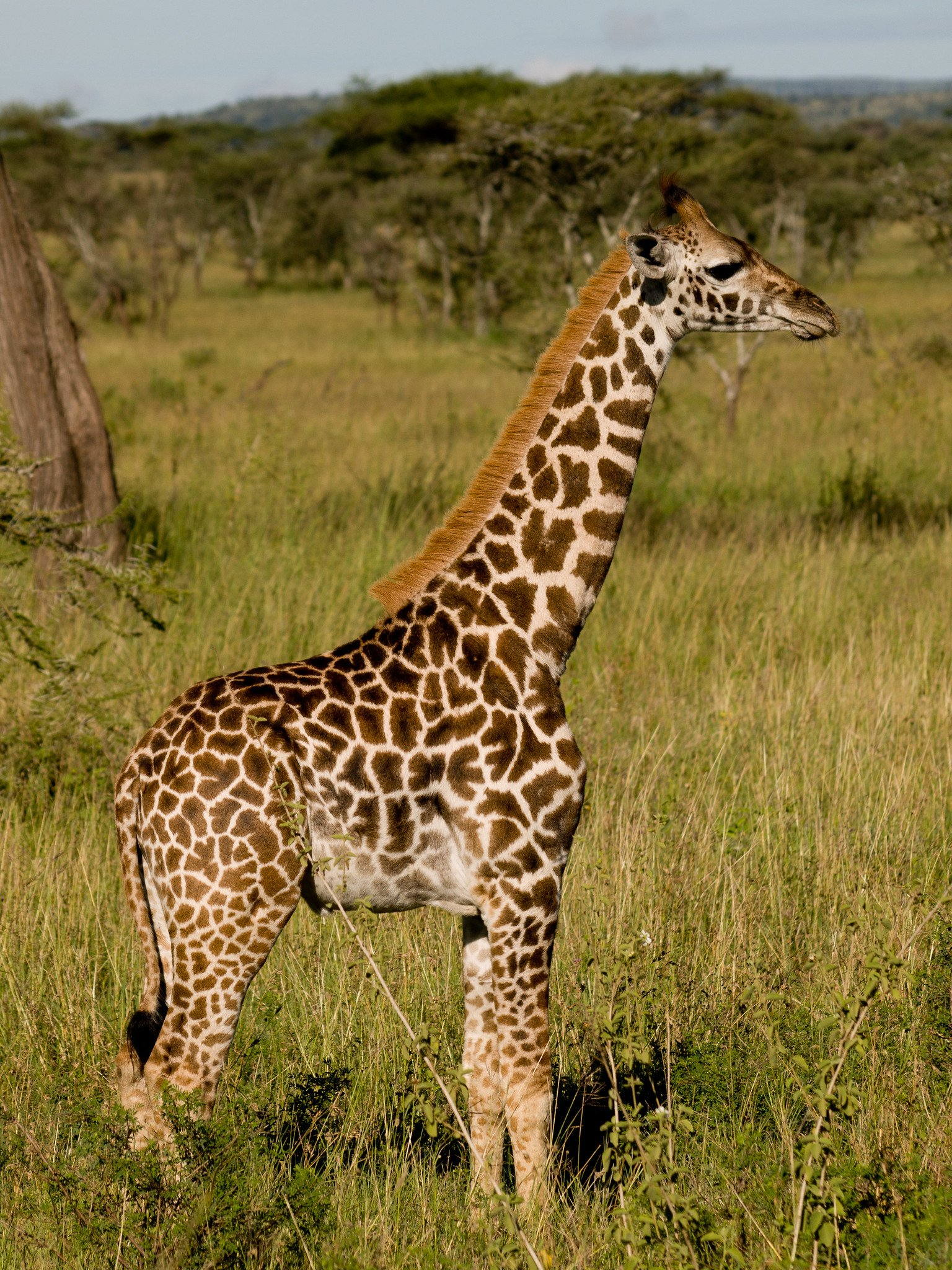 A portrait of a giraffe in the Serengeti National Park, Tanzaniaon April 3, 2008 | Photo: Flickr/William Warby