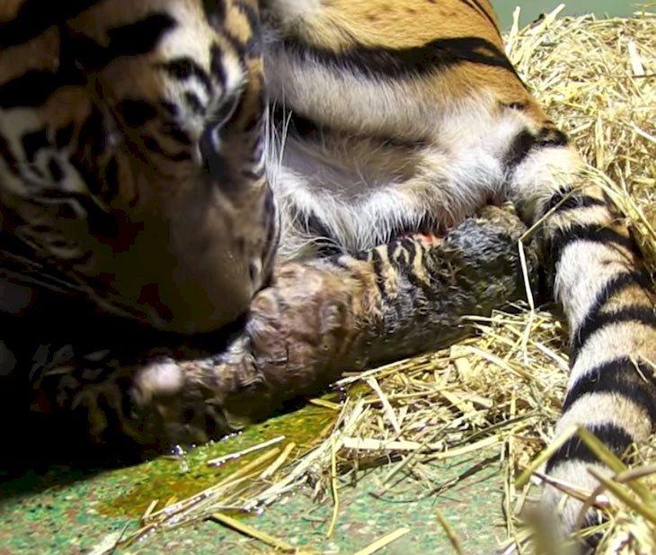 Naissance de deux petits tigres   Les tigres à propos de la maison   BBC Earth : Youtube