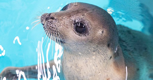 Rescued Harp Seal Stuart Little Finds New Home at Baltimore's National Aquarium