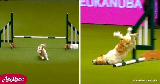 Face-planting Jack Russell goes absolutely crazy at dog show