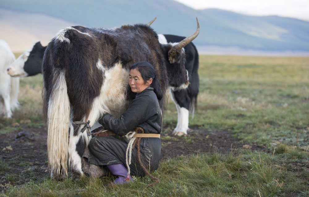 A photo of a lady milking a cow | Photo: Shutterstock