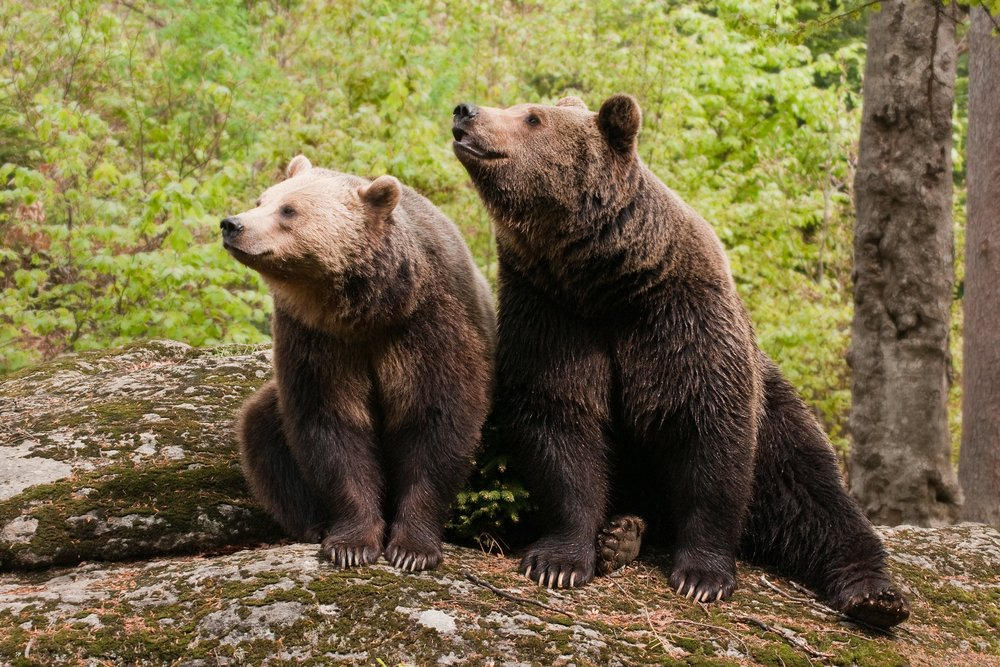 Two bears sitting on the rock in the woods | Photo: Shutterstock