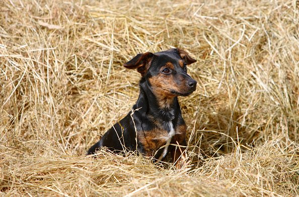 Black and tan Jack Russell puppy playing in a bed of hay.   Photo: Getty Images