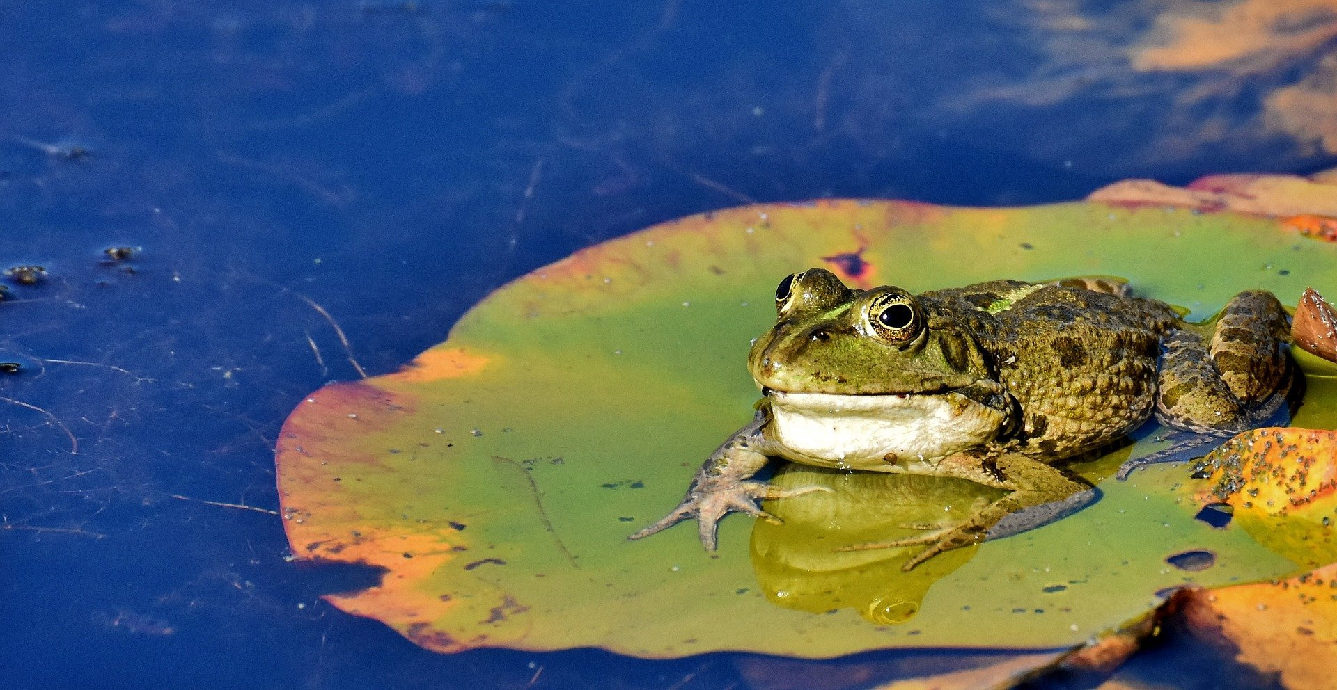 A toad sitting on a leaf in a pond. | Source: Alexas Fotos/Pixabay