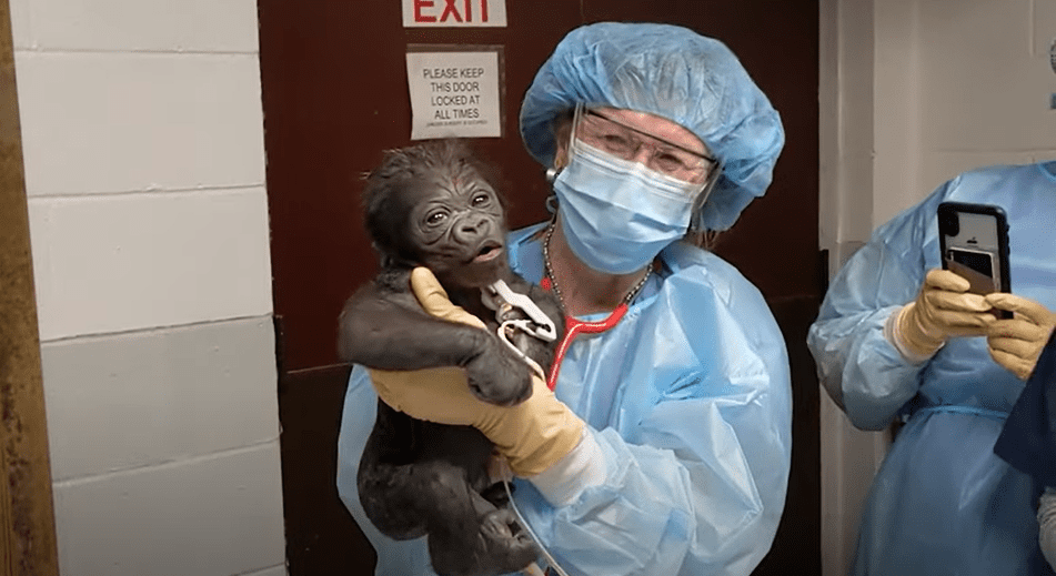 A specialist holding the newborn male gorilla on October 14, 2020. | Photo: YouTube/Zoo New England