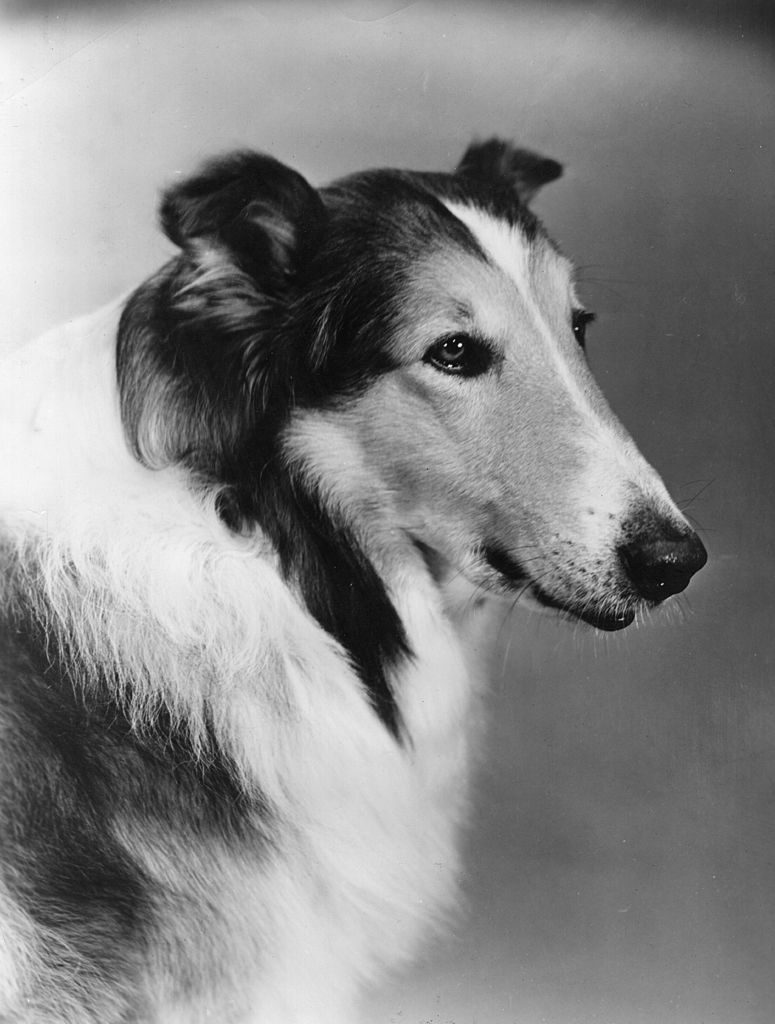 Lassie, the 'acting dog' who performed almost like a human in many children's adventure films | Getty Images / Global Images Ukraine