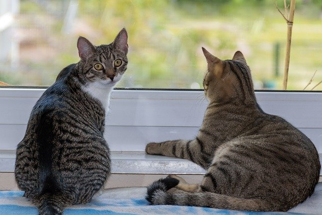 Cat looks towards camera while the other looks out a window | Photo: Pixabay