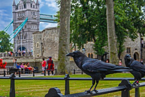 Ravens at the Tower of London. | Source: Shutterstock