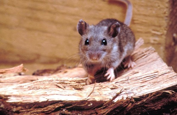 Deer mouse (Peromyscus maniculatus), a possible transmitter of the Hantavirus, 1990. | Photo: Getty Images