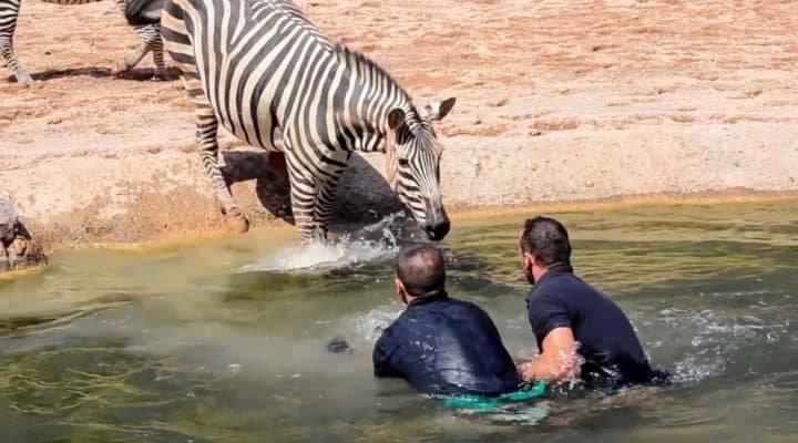 Une histoire touchante sur la façon dont les hommes plongent dans l'eau pour sauver un bébé zèbre qui se noie devant sa mère