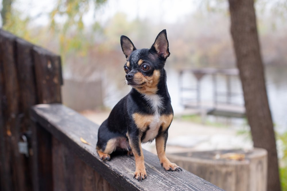 A pet Chihuahua on the street. | Photo: Shutterstock