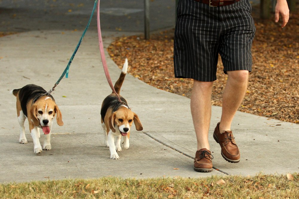 A photo of a man walking his dogs.   Photo: Shutterstock